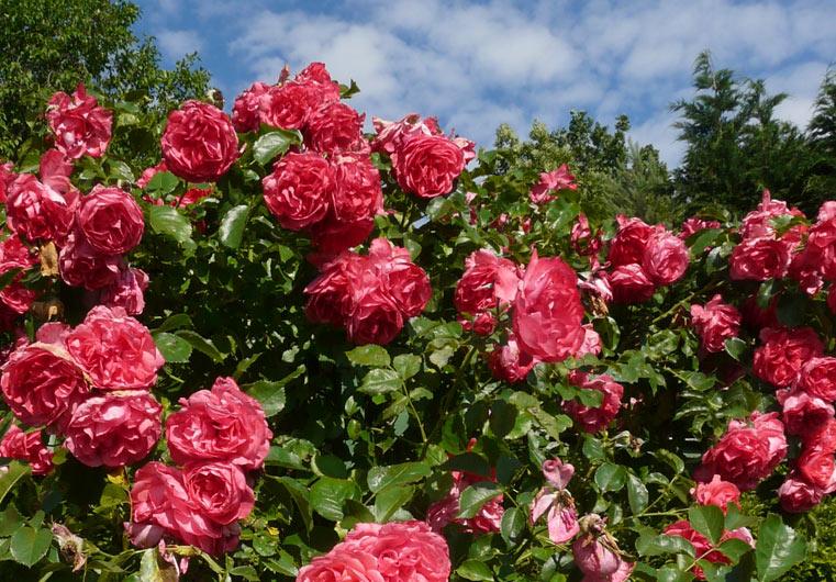 Schläft Dornröschen hinter dieser Rosenhecke?