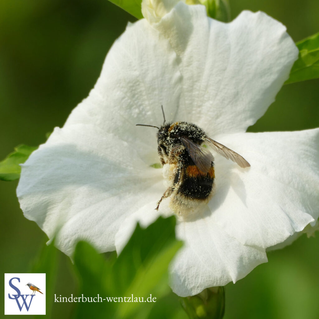 Hummel voller Pollen